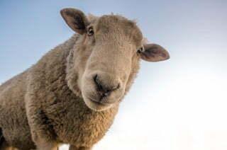 Ukulele struny z ovčích střívek